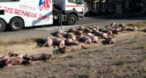 Imatge dels porcs morts a terra