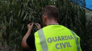 La Guàrdia Civil ha desmantellat una plantació de marihuana a Riudecols