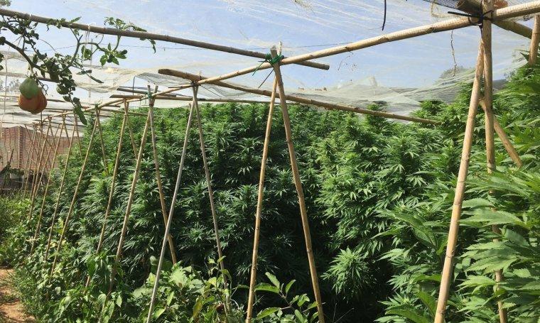 Pla general on es pot veure la plantació de marihuana camuflada a Miralcamp