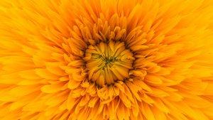 Aunque existen muchas variedades, el diente de león es reconocible por sus flores de color amarillo intenso.
