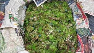 Confisquen 43 quilos de khat, la 'cocaïna africana', a un passatger en l'aeroport de València