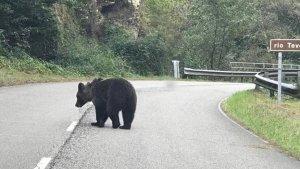 El oso cojo fue fotografiado durante la mañana del sábado en la carretera de Teverga