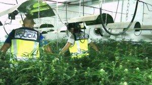 Han decomissat 610 plantes de marihuana i 1,5 quilograms preparats per la distribució