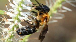 L'abella gegant ha arribat per primer cop a Catalunya