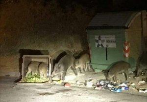 Senglars menjant a les nits als contenidors d'orgànica