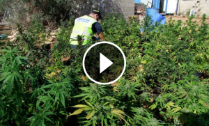 Un agent dels Mossos en una plantació de marihuana, a les Terres de l'Ebre.