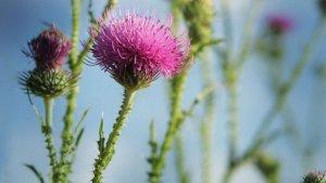El cardo mariano es una planta silvestre con múltiples propiedades saludables para el hígado.