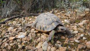 Es reintrodueixen més d'un centenar de tortugues mediterrànies al Montsant