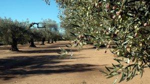 Imatge d'arxiu d'un oliverar a la comarca del Montsià.
