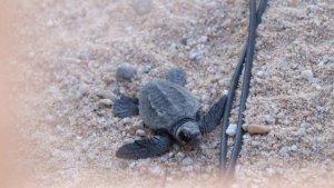 Imatge d'una de les tortugues nascudes a Mataró