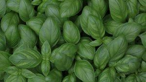 La albahaca es una planta aromática y medicinal con múltiples propiedades relacionadas con la inflamación.