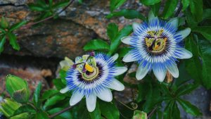 La pasiflora o flor de la pasión es apreciada tanto por sus propiedades beneficiosas como por su belleza.