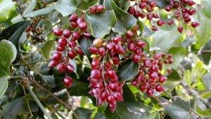 La planta de la zarzaparrilla posee unos frutos rojos con los que se elabora la bebida.