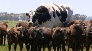 La vaca gegant destaca per les seves mides entre el ramat