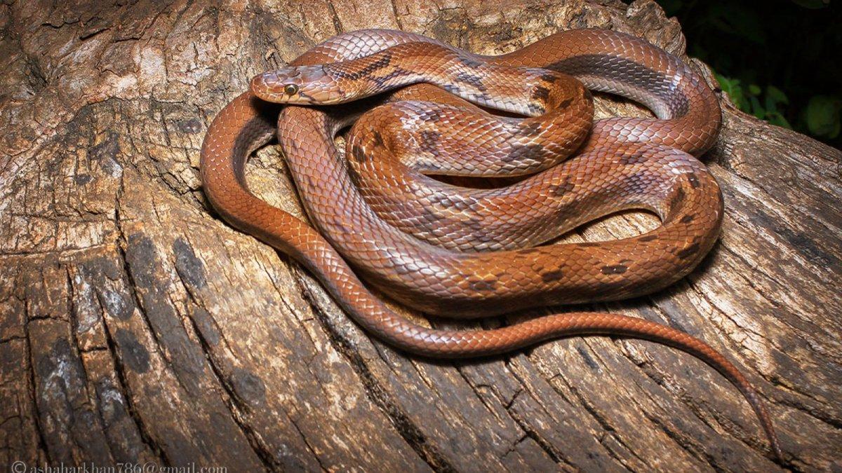 Capricorn Fire Snake