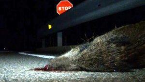 A la demarcació de Tarragona hi ha hagut més de 3.000 accidents amb animals des del 2011