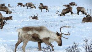 De 19 ramats vigilats a Rússia, 18 estan amenaçats a desaparèixer