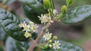 El boldo es una planta medicinal de origen chileno.