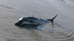 El dofí ha aparegut mort avui a la costa del Baix Penedès, entre Cunit i Segur de Calafell