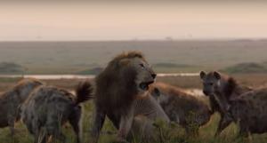 El lleó estava a punt de ser devorat per unes hienes
