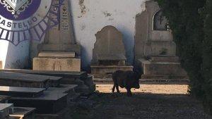 El porc vietnamita en el cementeri