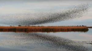Els estornells ofereixen una espectacular imatge cada vespre al Delta de l'Ebre
