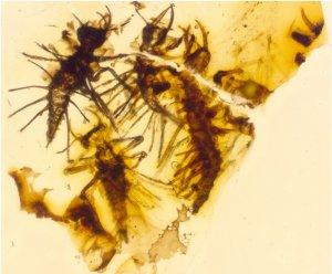 Els Tragichrysa ovoruptora fossilitzats en ambre, amb un dibuix que mostra més clarament la seva distribució