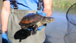 Exemplar de tortuga autòctona a l'Estany de Banyoles