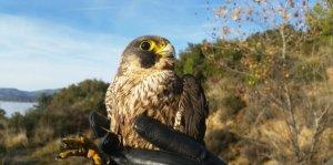 Imatge del falcó