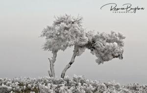 Imatge del gebre al Pallars