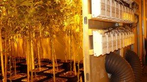 La Policia Nacional desmantella una nau amb mil plantes de marihuana a Alaquàs