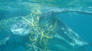Les tortugues pateixen les conseqüències dels plàstics al mar