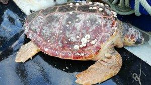 Salven una tortuga babaua al port de Sant Carles de la Ràpita