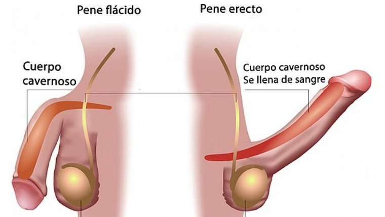 circuncidado en erección
