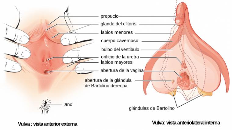 sistema reproductor femenino partes externas e internas