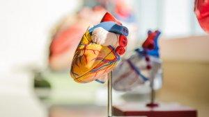 Conocemos las 21 partes del corazón humano y su función en el aparato circulatorio.