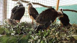 Ejemplares de Águila Bonelli recuperándose en un centro de fauna balear