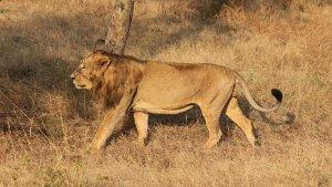 Els lleons asiàtics són una espècie amenaçada a l'Índia