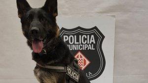 Gossa de la unitat canina de la Policia Municipal de Girona amb 15 kg de haixix