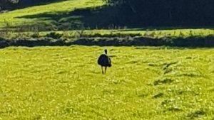 Imatge de l'emú que s'ha escapat avui a la Selva
