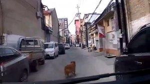 Imatge del gos guiant l'ambulància fins al seu amo