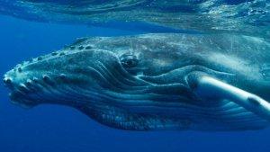La balena geperuda torna al Mediterrani