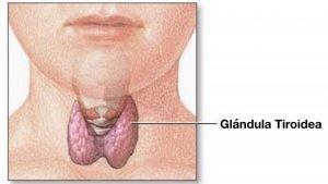 La tiroides o glándula tiroidea es el órgano principal del sistema endocrino.