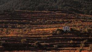 La vinya és el conreu estrella del Priorat.