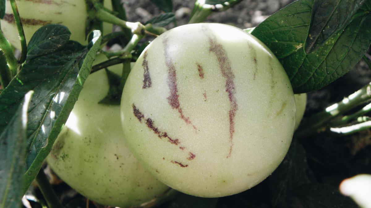 propiedades del pepino dulce para la salud