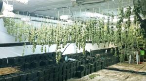 Els cabdells de marihuana estarien valorats en més d'un milió d'euros al mercat