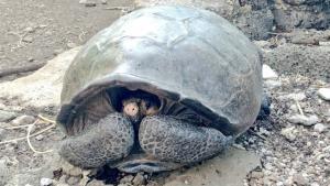 Fotografía de un ejemplar de tortuga de las Galápagos