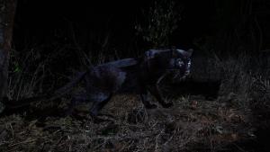 Fotografiado el primer leopardo negro en más de 100 años, por un fotógrafo de fauna
