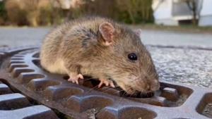 Imagen del roedor atrapado en la alcantarilla
