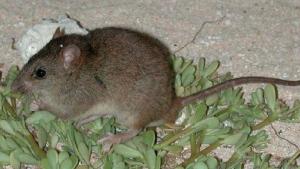 Imatge de l'espècie que s'ha extingit